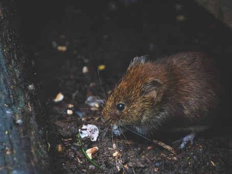 How to Keep Heavy Rainfall from Luring Rodents into your Property