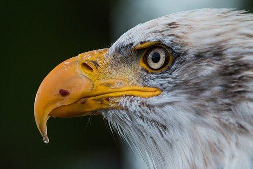 bald-eagle-1728739__340