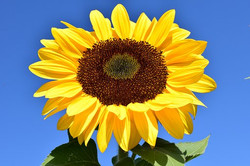 sun-flower-1627179__340
