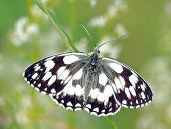 checkered-butterfly-1472687__340