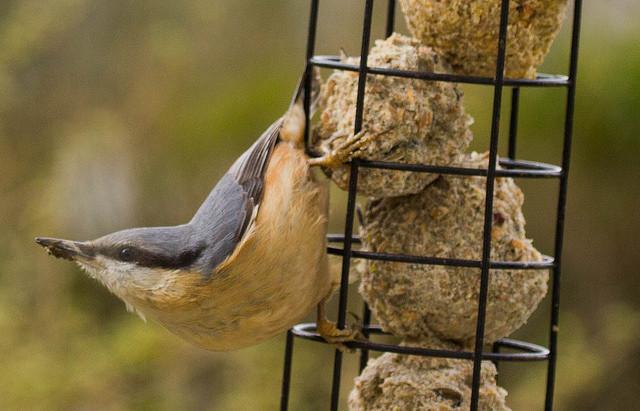Nuthatch Garden Bird