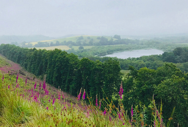Foxgloves in Carmarthenshire