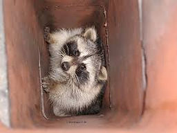 A raccoon in a chimney