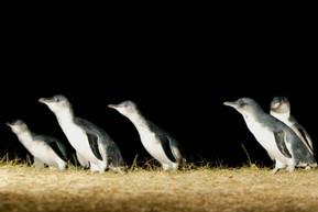 オーストラリア メルボルン フィリップ島