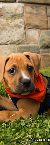 Adopt a Boxer Rescue