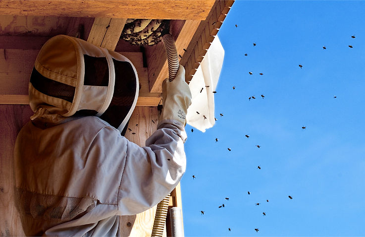 recoger abejas retirar abejas eliminar abejas matar abejas eliminar avispas  matar avispas
