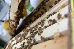 Quadres arna abelles