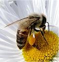 matar abejas eliminar abejas recollir abelles retirar abelles apicultor urgencias apicultor urgencies matar vespes eliminar vespes matar avispas eliminar avispas