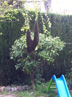 Eixam d'abelles arbre