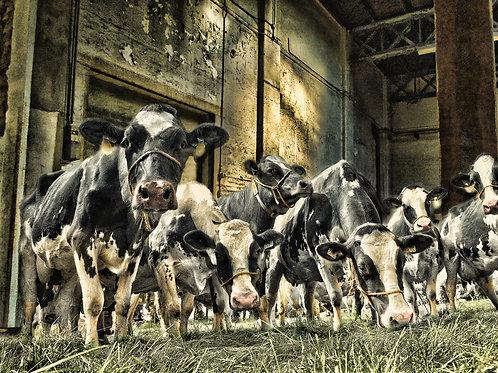 KUNST met koeien