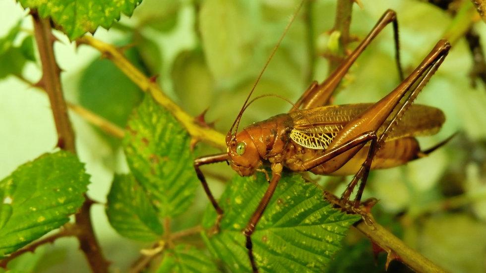 Ischnomela pulchripennis