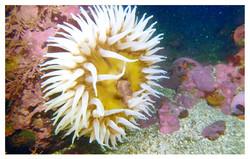point_lobos_anemone