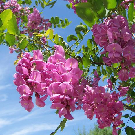 Stunning Acacia Flower.jpg