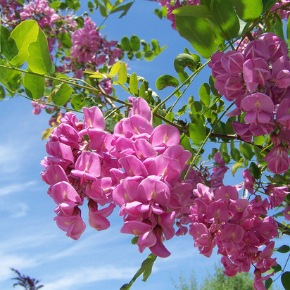 Stunning Acacia Flower