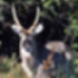 waterbuck.jpg