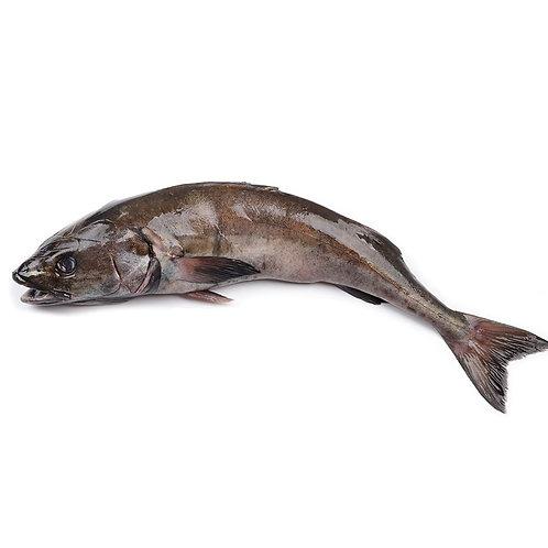 Черная треска (угольная рыба)