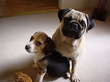 Muffin the Pug and Hunter the Beagle.jpg