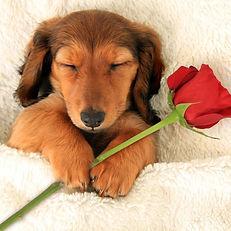 1280-504386364-dachshund-valentine-puppy