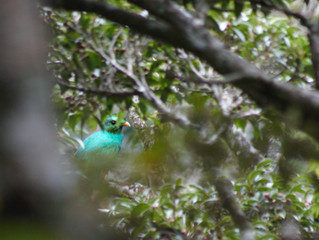 Quetzals in Valle Escondido Preserve!
