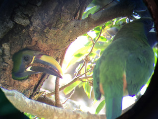 Emerald Toucanets Living In Tree Next to Reception