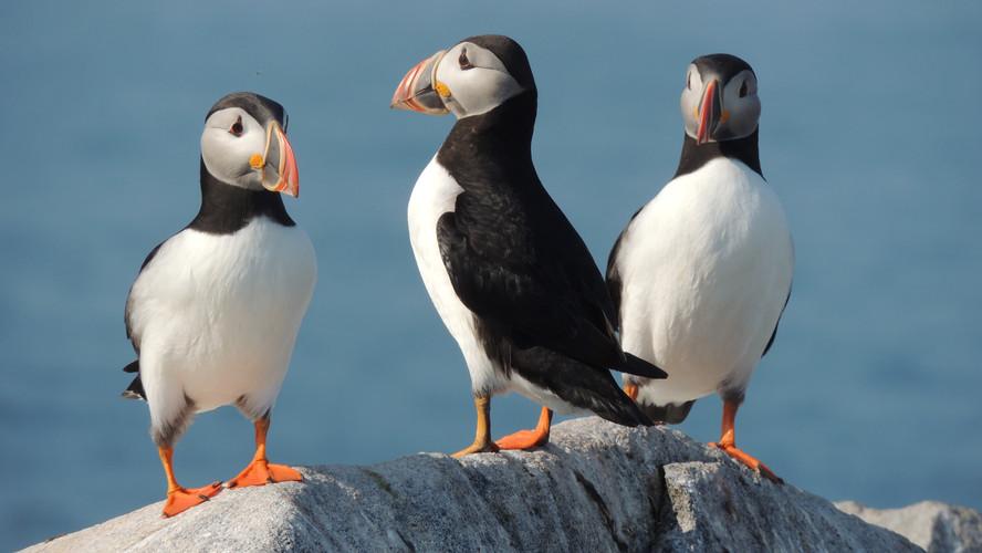 Machias Seal Island Atlantic Puffins.jpg