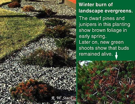Protecting Your Evergreens Against Winter Needle Sunscald: Winter burn.