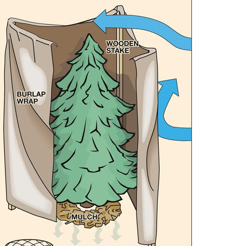 Protecting Your Evergreens Against Winter Needle Sunscald: Example of a burlap screen for winter protection.