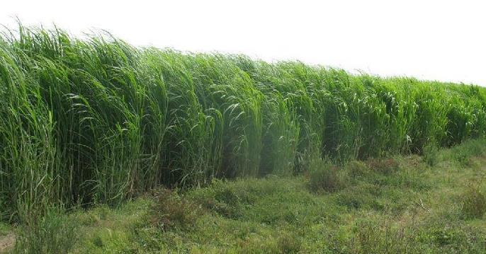 king grass.jpg