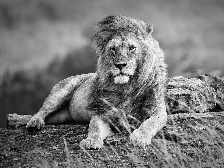 LION (liggende)