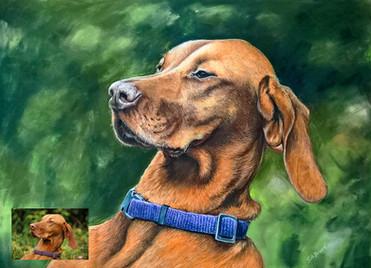 Dog portrait Hungarian Vizsla