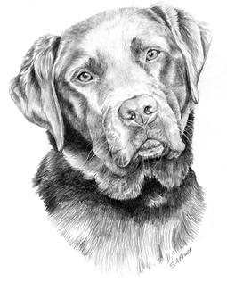 dog portrait labrador drawing