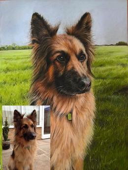 Dog portrait German Shepherd
