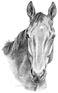 Horse portrait thoroughbred cross