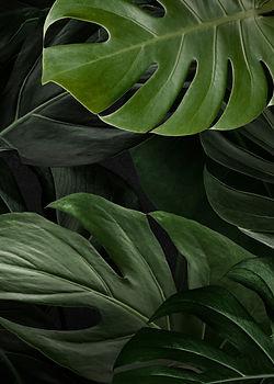 green-monstera-nature-background.jpg