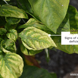 Calcium and Magnesium Deficiencies and Excesses in Plants - How to Identify, Prevent and Cure