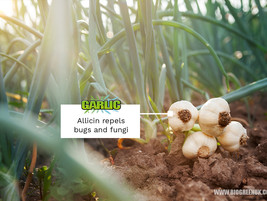 Getting Rid of Pests, Bugs and Fungi with Garlic (Allicin)