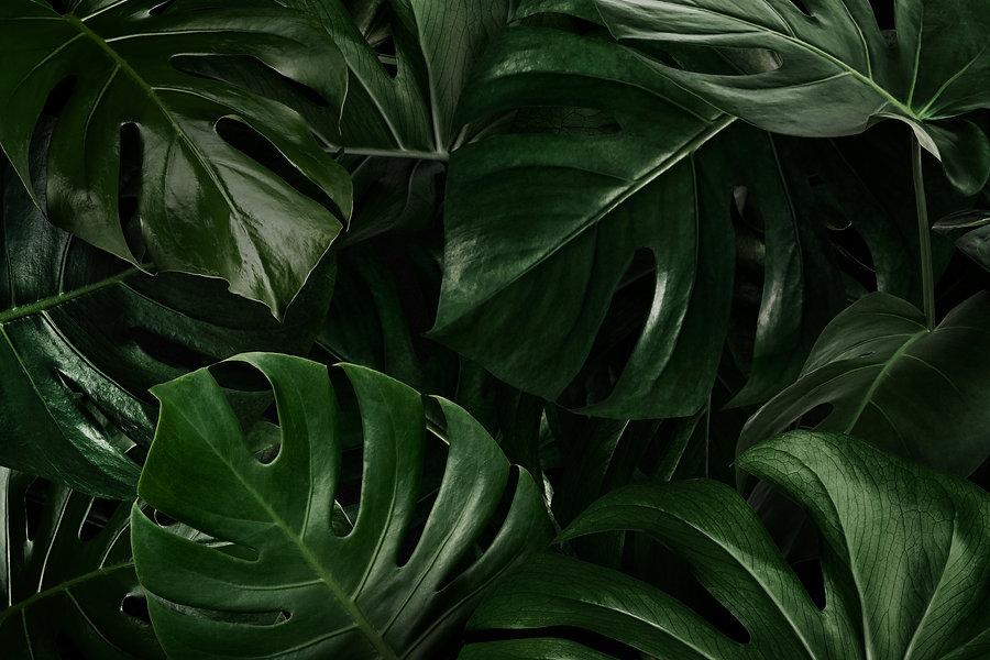 green-monstera-leaves-nature.jpg