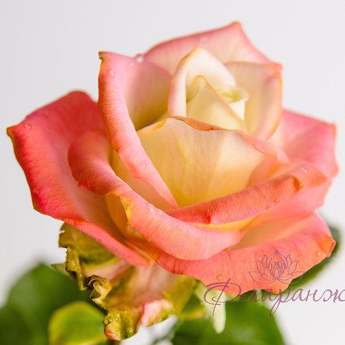 Нежная роза с капельками росы на лепестках