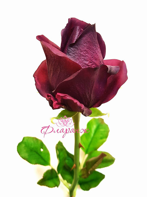 "Роза сорта ""Баркороле"""