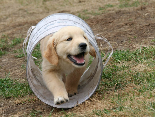 Bringing a new puppy home – giving him the best start