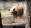 Black bear in Northern California Forest