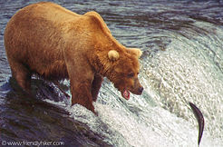 Grizzly bear fishing for salmon at Brooks falls in Katmai National Park, Alaska.