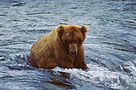 Grizzly Bear sitting in the water at Katmai National Park