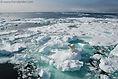 Polar bear on ice with ocean view. Arctic. Svalbard