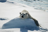 Polar Bear Lying On Snow Close Up in Spitsbergen (Svalbard) Europe, the Arctic.