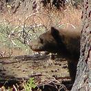 Black Bear in Sequoia National Park USA