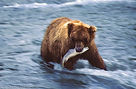 Grizzly bear catches a salmon in a river.
