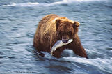 Grizzly Bear with a salmon in its mouth. Katmai National Park Alaska, USA