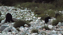 Mother black bear with 2 cubs along a river in Sequoia National Park USA