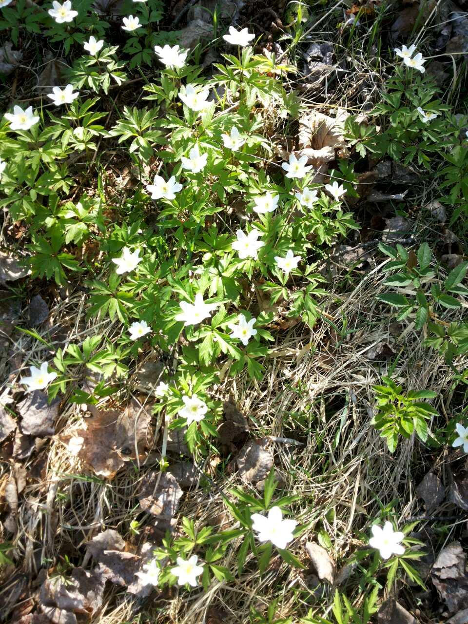 Первые цветы Ладога